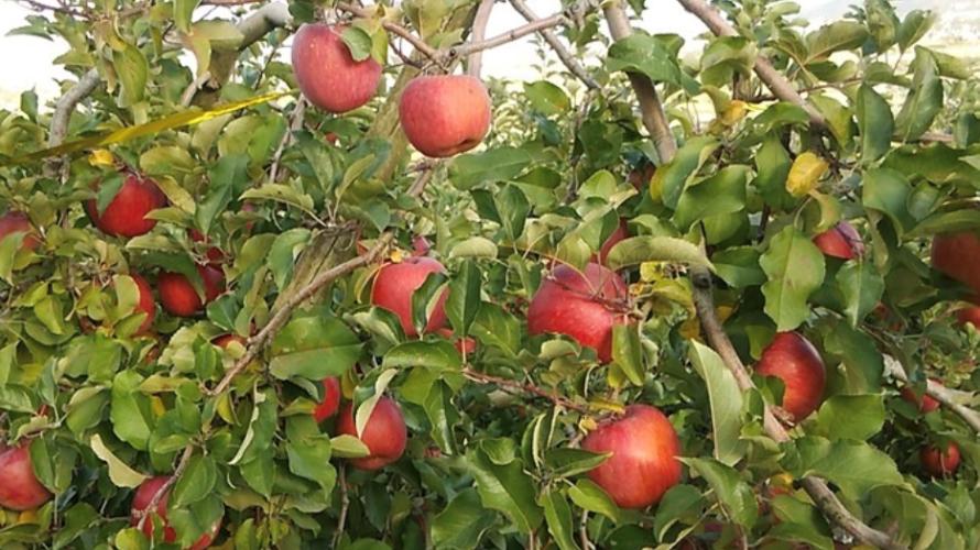 美味しい簡単コンビーフ料理と冬の味覚リンゴ アップルパイレシピ